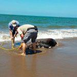 Incrementan varamientos de lobos marinos en Sinaloa