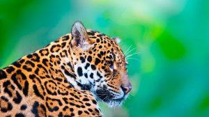 jaguar-masacre01