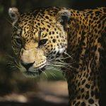 Jaguar, el felino que irrumpió el agua de Nayarit