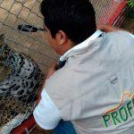 Aseguran a jaguar que paseaba en Culiacán