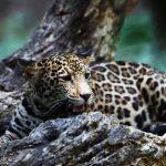 El jaguar, en mayor peligro de extinción de lo que se pensaba: UNAM