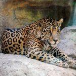 Juez en EEUU garantiza protección a jaguares