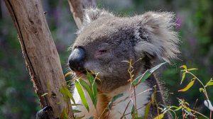 no habrá koalas