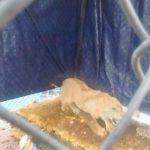 Profepa asegura león en azotea de edificio en Balbuena