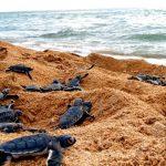 Alianza WWF-Fundación Telmex Telcel libera 420 tortugas en Acapulco