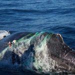 Rescatan ballena jorobada enmallada en Cabo San Lucas