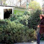 Invitan a llevar árboles de Navidad naturales a centros de acopio