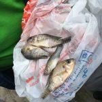 Lluvia de peces sorprende a pobladores de Tampico