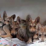 ¿Ya conoces a los lobos mexicanos bebés?