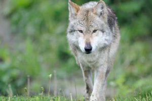 Muere Sheep, uno de los lobos mexicanos más longevos en cautiverio