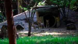 lobos-coyotes