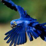 Descubren nuevo loro de plumaje azul en México