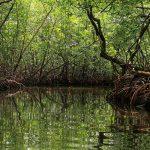 Hoy 26 de julio, se celebra el Día Internacional del manglar