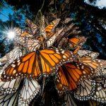 Mariposa monarca mantiene su arribo a santuarios de México