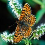 19 especies de mariposas a punto de desaparecer