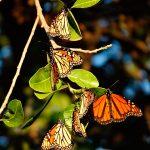 Mariposas monarca invaden cielo mexicano