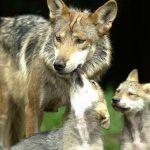 México y EEUU se unen en rescate de lobo mexicano