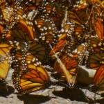 México presenta plan de acción para proteger a las mariposas monarca