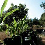"""""""La Milpa Sustentable"""", una cruzada contra el hambre"""