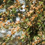 Michoacán está listo para recibir a las mariposas monarca