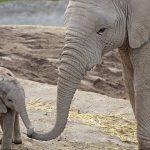 Nace elefante en Africam Safari de Puebla