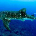 Semarnat convoca a consulta para norma sobre nado con tiburón ballena