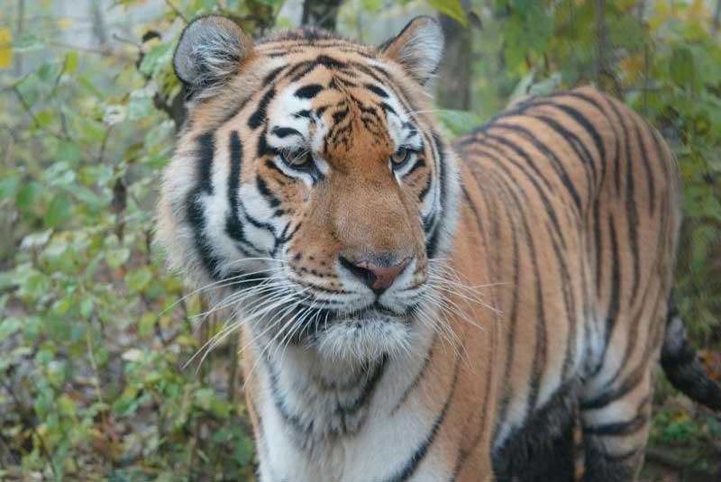 nepal-tigre01