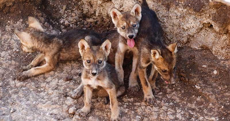 nombres-lobos