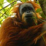 Hallan nueva especie de orangután en Indonesia