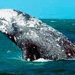 Lagunar Ojo de Liebre, 46 años como refugio para ballenas