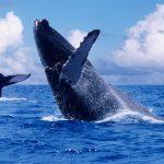 Profepa realiza vigilancia para protección de ballena gris