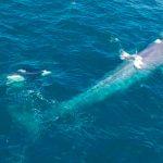 Captan a ballenas asesinas atacando por diversión a ballena azul