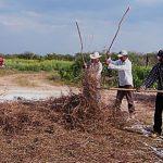 Transforman desechos de orégano en composta