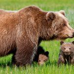 Olor de pies indispensable en comunicación entre osos: estudio