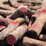Piden detener tala de palo rosa africano