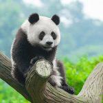 Panda gigante hace historia en Japón