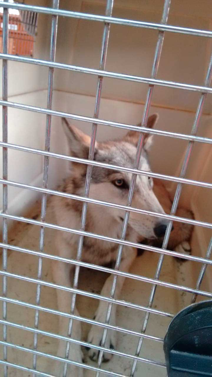 perro-lobo01