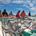 Pesquerías del golfo de California están sobreexplotadas: estudio