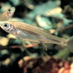 Detectan a pez que se clona naturalmente en vez de reproducirse