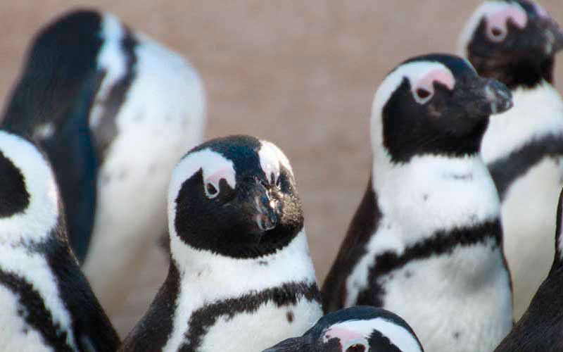 piden-pinguino