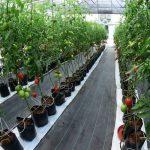 Agronegocios y hortalizas en Querétaro
