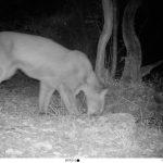 Puma conquista sierra de San Luis Potosí