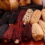 ¿Es posible controlar pureza de maíces de colores?