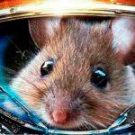 Científicos envían ratones genéticamente modificados al espacio