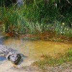 Recibe comunidad en Quintana Roo conservación y aprovechamiento de cocodrilo