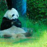Reconoce China esfuerzos para conservación del panda en México