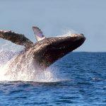 Registran hasta el momento 347 ejemplares de ballena gris en BC