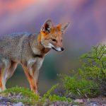 Reintegran a su hábitat a zorro gris capturado en Edomex