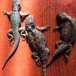 Aseguran 153 reptiles en camión de pasajeros