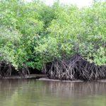 Protegen, conservan y restauran manglar en Veracruz